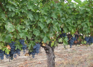At Twin Cedars Winery, we produce a limited amount of varietals based on annual harvests and selection